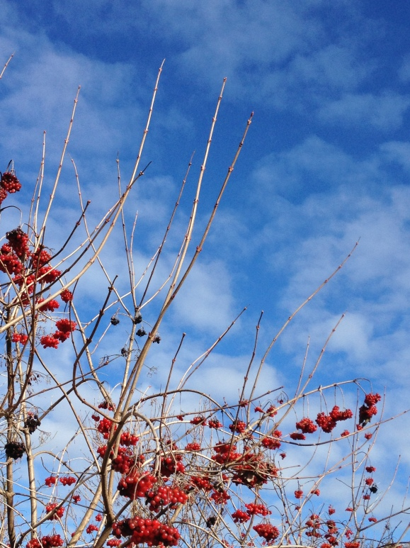 Bright red berries contrasting against blue skies, Woodinville, Washington